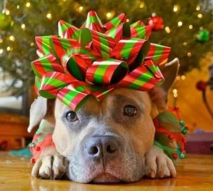 Should You Give a Pet as a Holiday Gift?